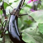 家庭菜園 ナスの栽培をしょう?水やりは?種類はどんなの?