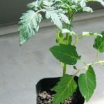 家庭菜園 ミニトマトの栽培は?病気はどうなの?雨よけは必要?