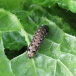 家庭菜園の収穫は?注意したい害虫は?害虫駆除?