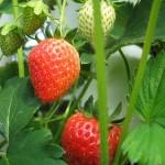 家庭菜園 イチゴの栽培?病気は?害虫はどうなの?
