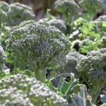 家庭菜園 ブロッコリーの育て方?害虫は?栽培でのポイント!
