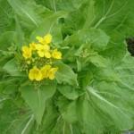 家庭菜園 白菜の水やり?害虫から守る?冷害を防ぐには?