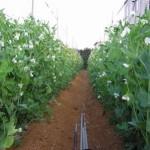 家庭菜園 エンドウの栽培?支柱立て?害虫対策は?