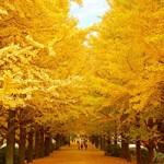 昭和記念公園の紅葉2015 見頃時期!アクセスはどうなの?